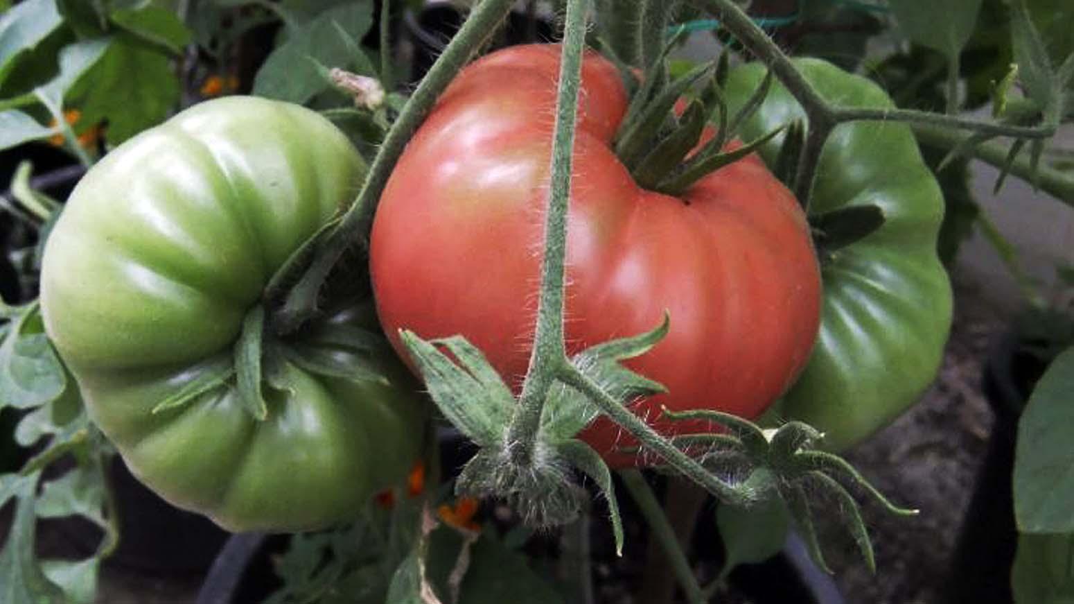 Eine grüne und eine rote Tomate am Strauch hängend.