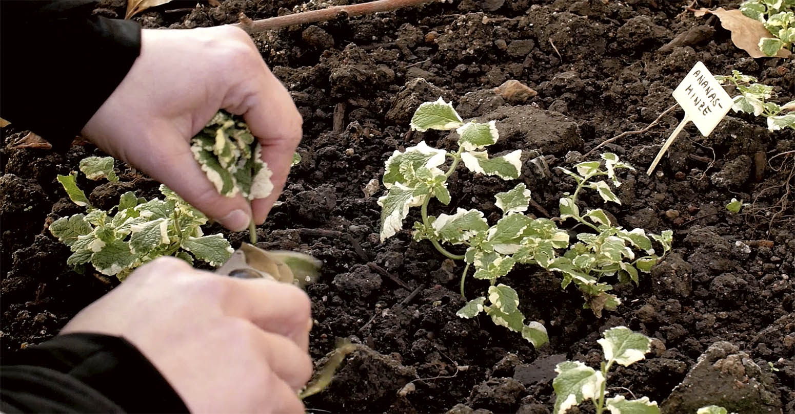 Hände beim Einpflanzen kleiner Minzepflanzen in frische Erde