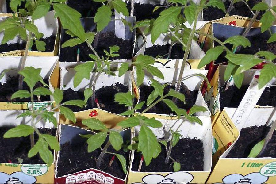 Kleine Tomatensetzlinge in Tetrapacks
